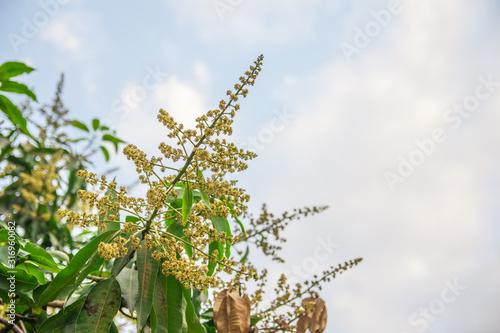 Photo Flower of mango in garden, flower mango in summer.