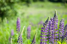 Wild Lupines Growing Near The Forest
