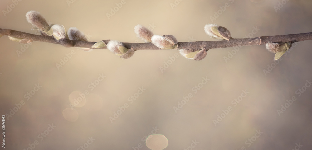 Fototapeta Spring nature Background with pussy willow branch