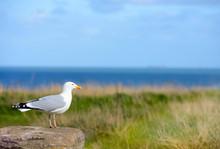 Seagull Close Up On The Seashore