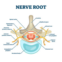 Nerve Root Anatomical Structure Labeled Cross Section