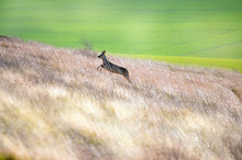 Magnificent View Of A Deer Running In The Tall Grass