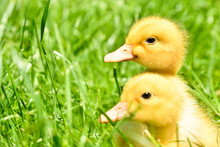 Two Little Cute Ducklings Sitt...