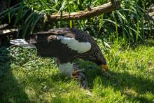 Steller's Sea Eagle, Haliaeetus Pelagicus A Large Bird Of Prey Lives In Coastal Northeastern Asia. Large Yellow Bill.