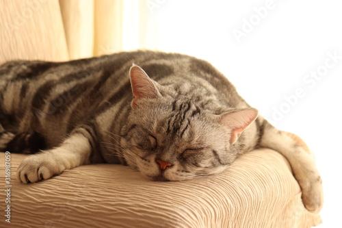 だらしない寝相の猫アメリカンショートヘアー Tapéta, Fotótapéta