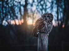 Tawny Owl (Strix Aluco) By Aut...