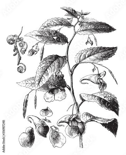 Touch-me-not balsam (Impatiens noli-tangere) / vintage illustration from Brockha Wallpaper Mural