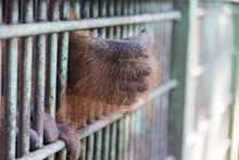 Orangutan Hand Incarcerated