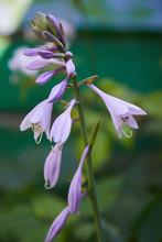 Common Bellflower Campanula Pe...