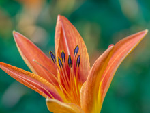 Daylily In Garden In Summer
