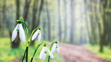 White Snowdrops On Forest Back...