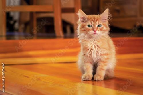 Fototapeta Red ginger kitten sitting on wooden floor in cozy room