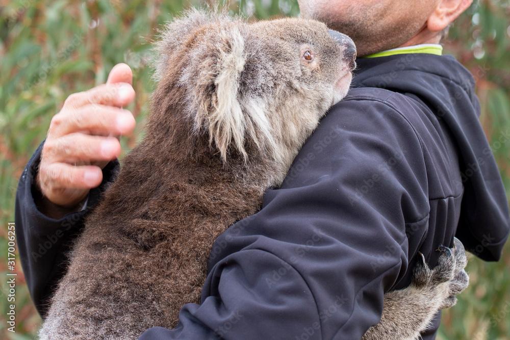 Fototapeta rescued koala in australia after bush fire