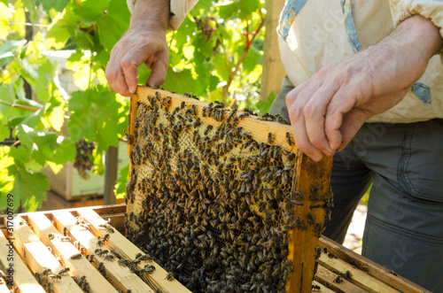 Photo Bee yard and beekeeper holding honeycomb full of bees