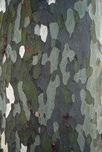 Platan, Platanus Or Plane Tree Bark Texture, Background