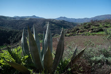 Aloe In The Mountains