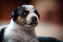 Few Days Old Dog In A Studio Photo Session. Jack Russell Terrier Puppy. Little White Dog. Beautiful Blurry Lights.
