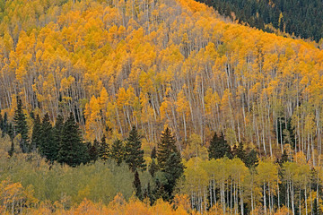 Fototapeta Jesień Autumn landscape of aspens and conifers, Castle Creek Road, White River National Forest, Elk Mountains, Aspen, Colorado, USA