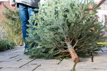 A Man Pulling The Old Christmas Tree Away