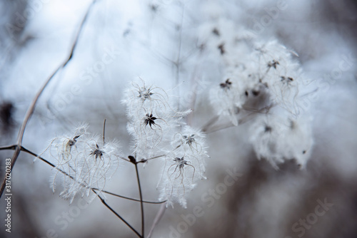 Beautiful seed heads with silky appendages of Wild Clematis or Clematis vitalba Canvas Print