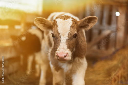 Cute calf looks into the object Wallpaper Mural
