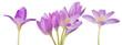 light lilac crocus flowers set on white