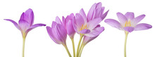 Light Lilac Crocus Flowers Set...