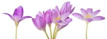 Light Lilac Crocus Flowers Set...