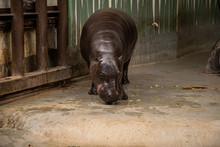 Pygmy Hippopotamus Or Choeropsis Liberiensis