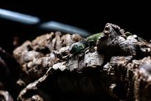 Green Lizard Long Tail Standin...