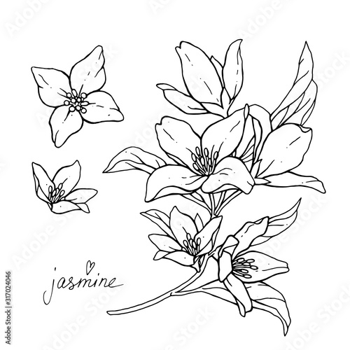 Jasmine flowers are isolated on a white background Fototapet