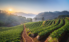 Landscape Of Strawberry Garden With Sunrise At Chiang Mai, Thailand. Misty Morning Sunrise In Strawberry Garden
