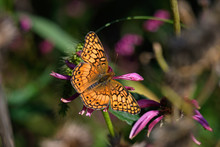 Euptoieta Claudia Or Variegated Fritillary On Echinacea Flower. It Is A North And South American Butterfly In The Family Nymphalidae. Echinacea Is An Herbaceous Plant In The Daisy Family