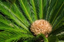 Female Cycad Sago Palm, Cycas Revoluta