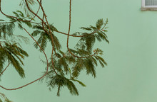 Tree Branch With Feathery Leav...