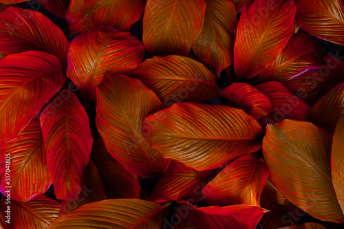 Papier Peint - leaves of Spathiphyllum cannifolium, abstract colorful texture, nature background, tropical leaf