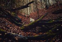 Czechoslovakian Wolfdog In Bea...