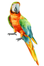 Parrot On An Isolated White Ba...