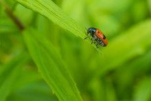 Small Red Bug On A Green Plant, Cryptocephalus Bipunctatus, Two-point Fall Beetle, Fresh Green