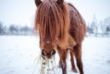 Closeup Shot Of A Horse With Long Hair In The Winter In The North Of Sweden