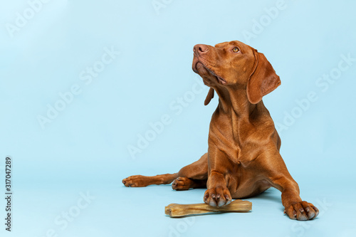 obraz PCV Cute hungarian vizsla puppy with rawhide chew bone studio portrait over blue background. Beautiful dog holding a chew toy bone with his paw while looking up.