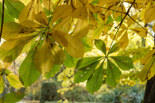 Conkers on Horse Chestnut Tree - Aesculus hippocastanum Canvas Print