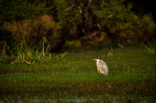 Grey Heron Or Ardea Cinerea In Green Grass And Wetland During Cold Winters Sunset Light At Keoladeo National Park Or Bird Sanctuary, Bharatpur, Rajasthan, India