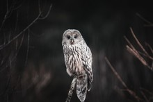 Close Up Of Ural Owl In The Wi...
