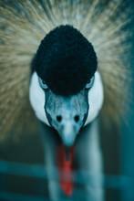 Portrait Of A Crane With Blue ...