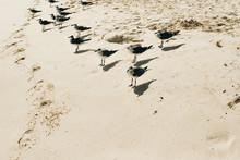 Flock Of Seagull Birds Walking...
