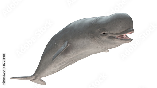 Beluga whale smiling side view isolated on white background ready cutout 3d rend Canvas Print