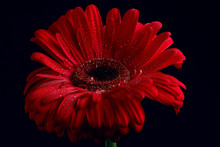 Red Gerbera Flower / Red Beautiful Summer Flower, Aroma Smell Concept