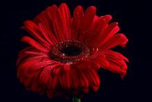 Red Gerbera Flower / Red Beaut...
