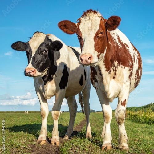 Two cows standing in a pasture under a blue sky and a faraway straight horizon Tapéta, Fotótapéta